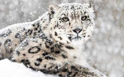 Snow Leopards by Tilly